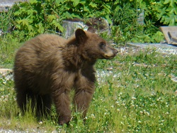 Post image for Bear Situation on the South Shore