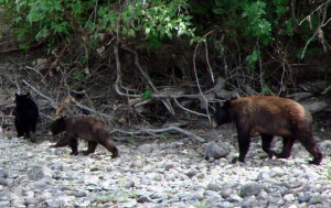 Bears-on-the-wenatchee-Mike-FagerCR